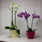 orchidee in vaso