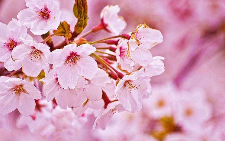 Fiori albero ciliegio