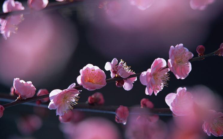 fiori di pesco