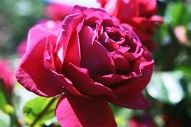 fiorirosa1