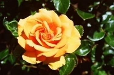 fiorirosa2