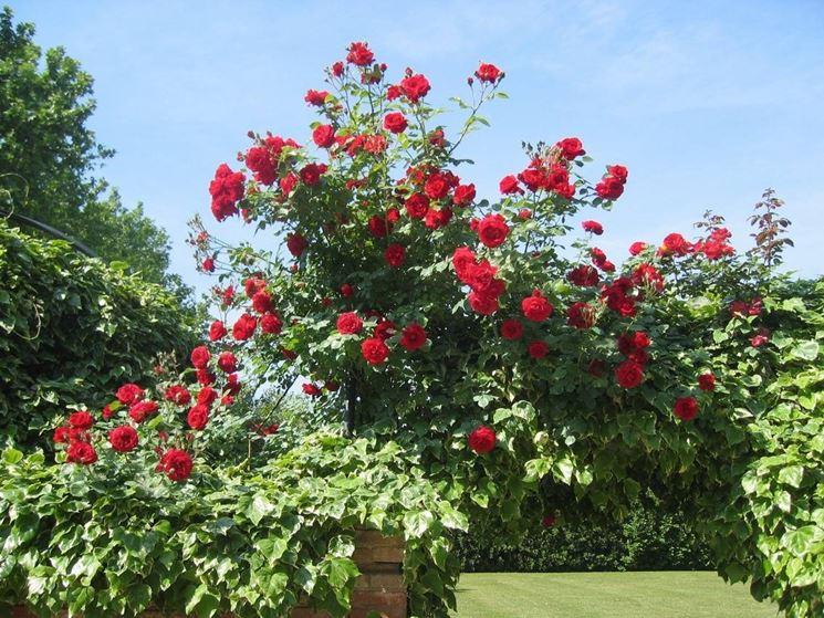 Una pianta di rose rosse