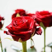 nomi di rose famose