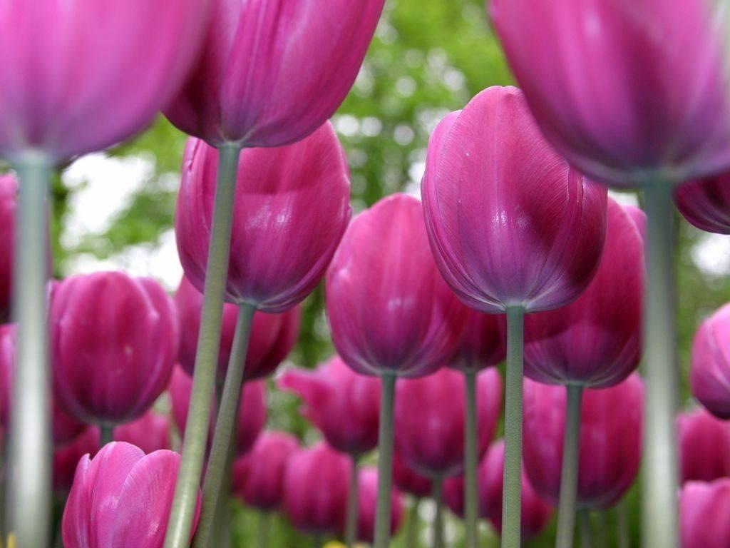 Vendita e coltivazione tulipa tulipano share the knownledge for Vendita semi fiori