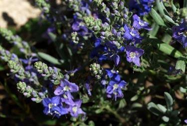 fiori di veronica di giugno