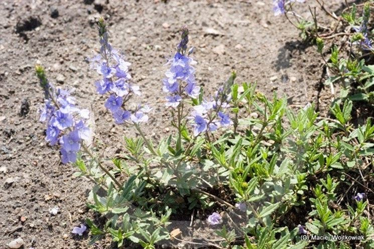 fiori di veronica