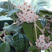 fiori di cera