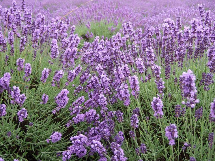 Lavanda fioritura fiori di piante lavanda come avviene for Fiori di lavanda