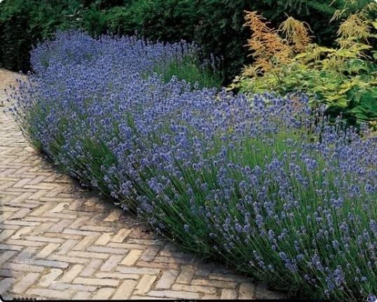 Lavanda fioritura fiori di piante lavanda come avviene for Cespugli giardino