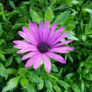 fiori tipo margherite
