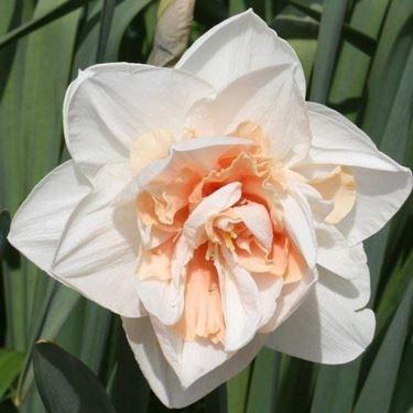 Esemplare di Narciso doppio