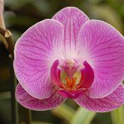 Un esemplare di orchidea di colore rosa