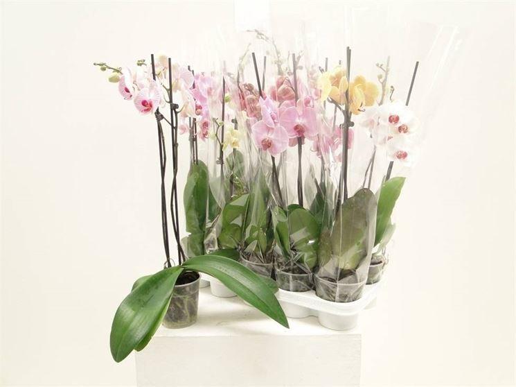 Orchidee con fiori di vario colore coltivate in vaso