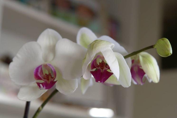 Fiori di orchidea sullo stelo ricurvo