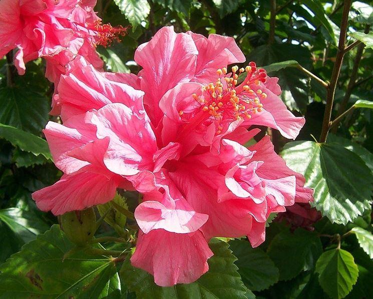 Bellissimo Ibisco doppio rosa