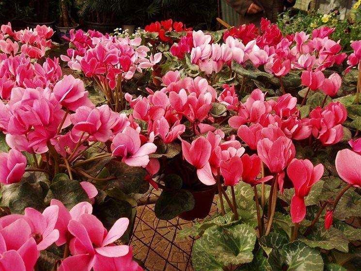 Pianta con fiori rosa fiori di piante pianta dai fiori - Piante da interno con fiori ...