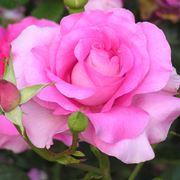 pianta fiori rosa
