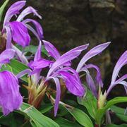 Piante di fiori di Roscoea purpurea