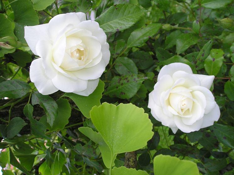 Rose coltivazione