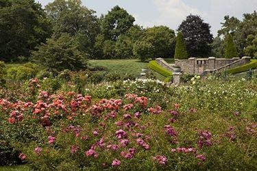 un campo di rose