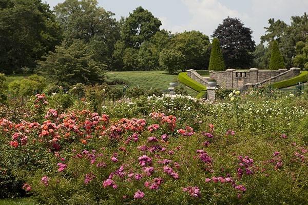 Rosa pianta - Fiori di piante - La pianta di rosa