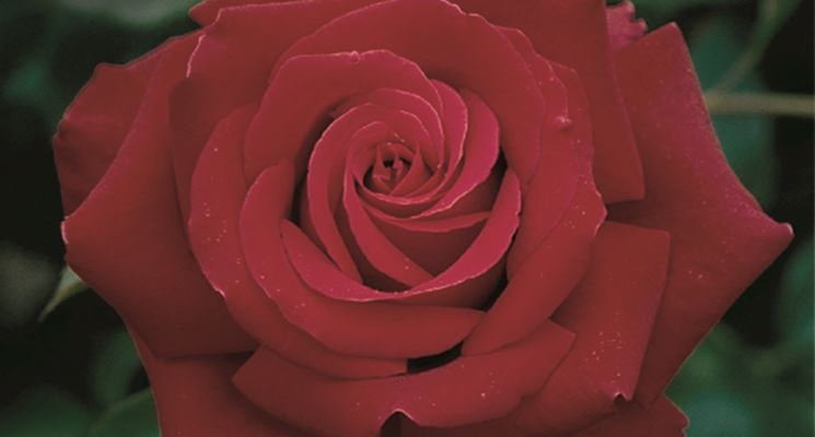 Rosa ibrido di tea rossa
