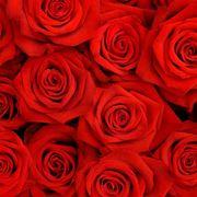 rose rossa