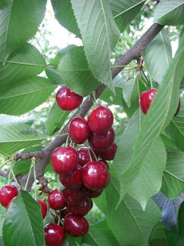pianta ciliegio