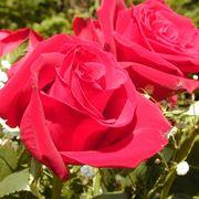 variet� di rose