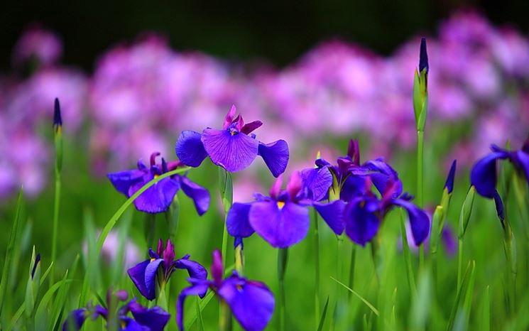 fiori di luglio, iris