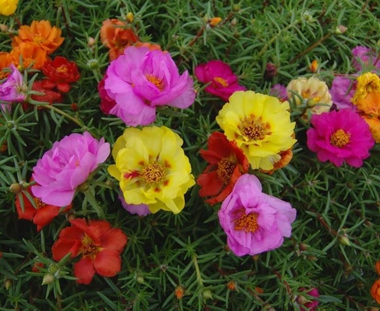 fioritura pianta di portulaca