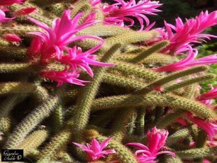 coda di volpe fiorita