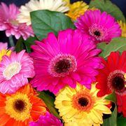 fiori agosto, gerbere