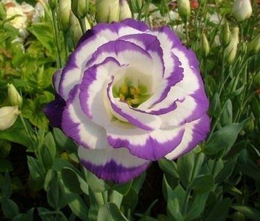 fiori agosto, lisianthus