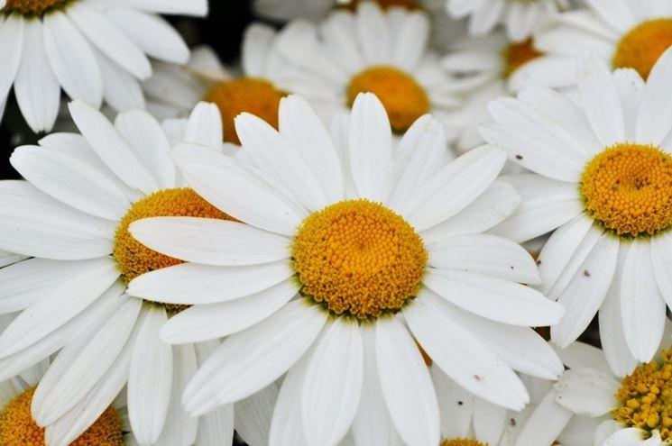 fiori agosto, margherite