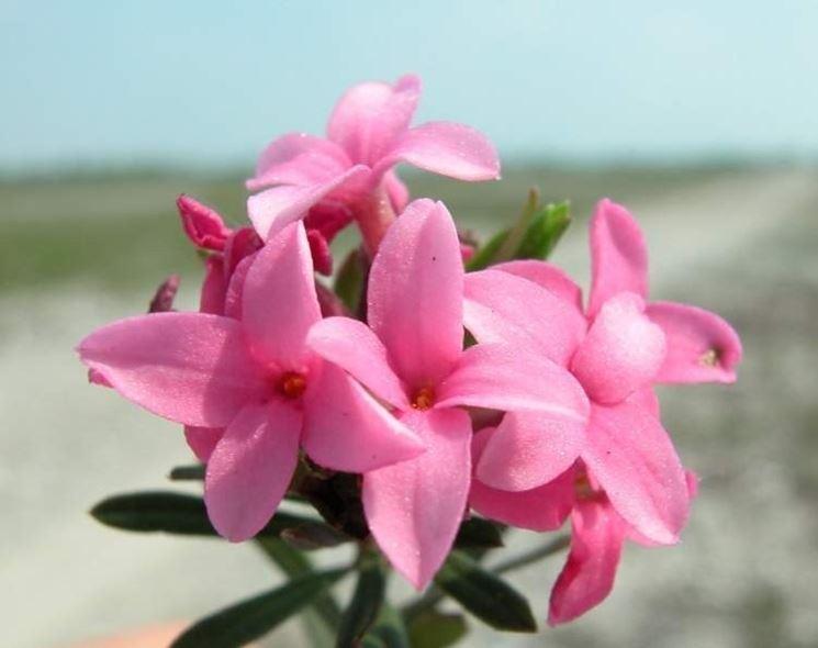 pianta di Daphne fioritura