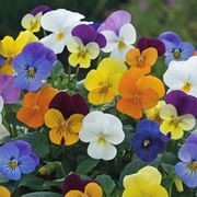 Gruppo di viole in fiore