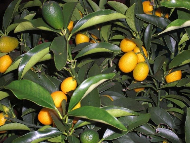Fortunella o kumquat