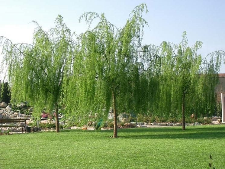 Vendita alberi on line fiori per cerimonie alberi on for Alberi da giardino con fiori