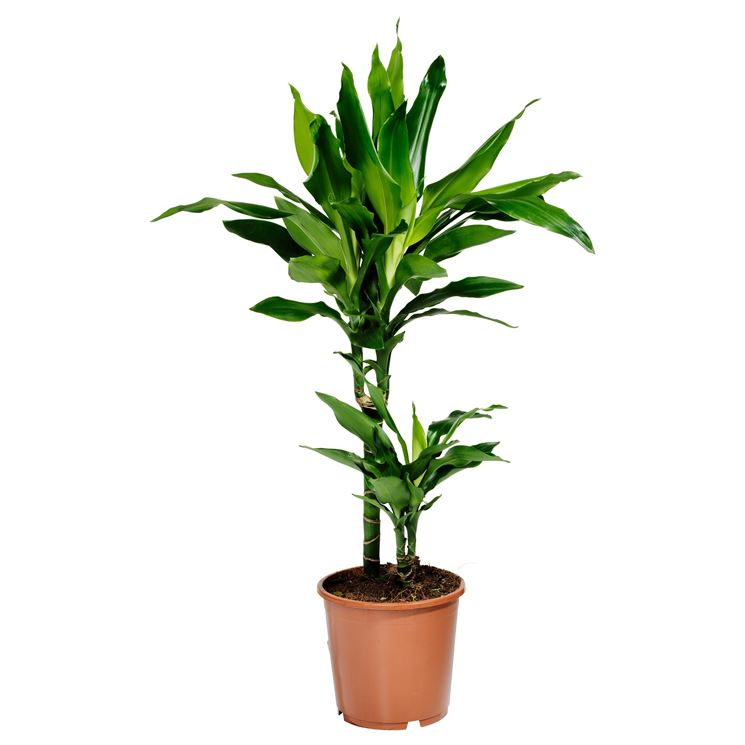 Bakker Piante : Vendita online piante fiori per cerimonie