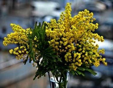 mimose in vaso