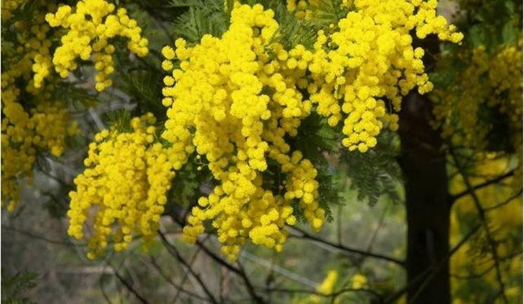 albero di mimose