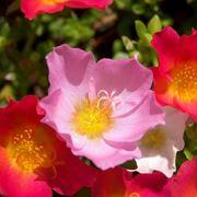 Anemoni rosa e porpora