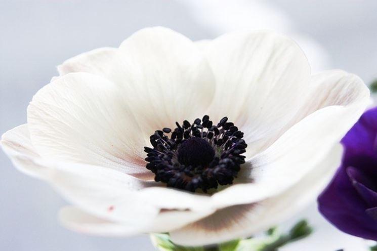Anemone coronaria bianca