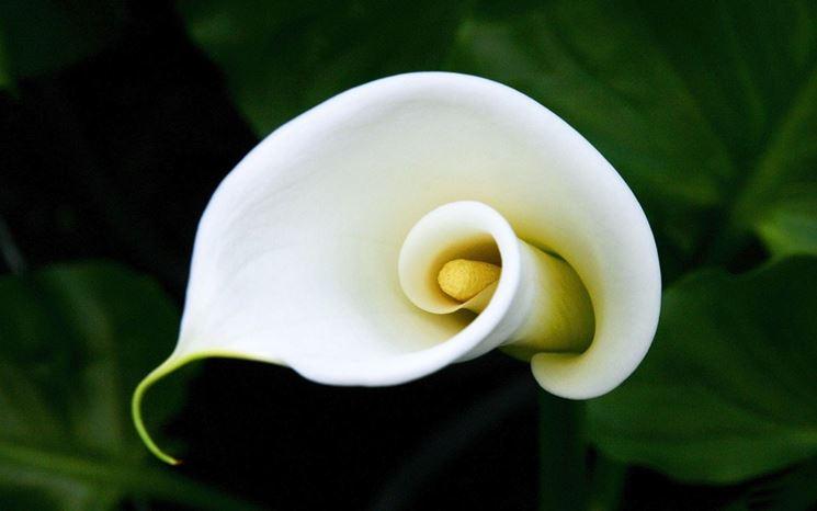 la calla fiore