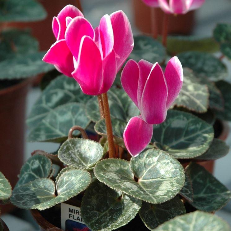 Ciclamini rosa in fiore