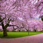 Un ciliegio giapponese in fiore