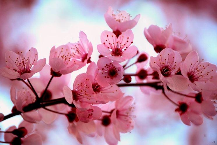 Fiori di ciliegio giapponese