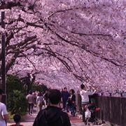 La festa giapponese Hanami durante la fioritura dei ciliegi