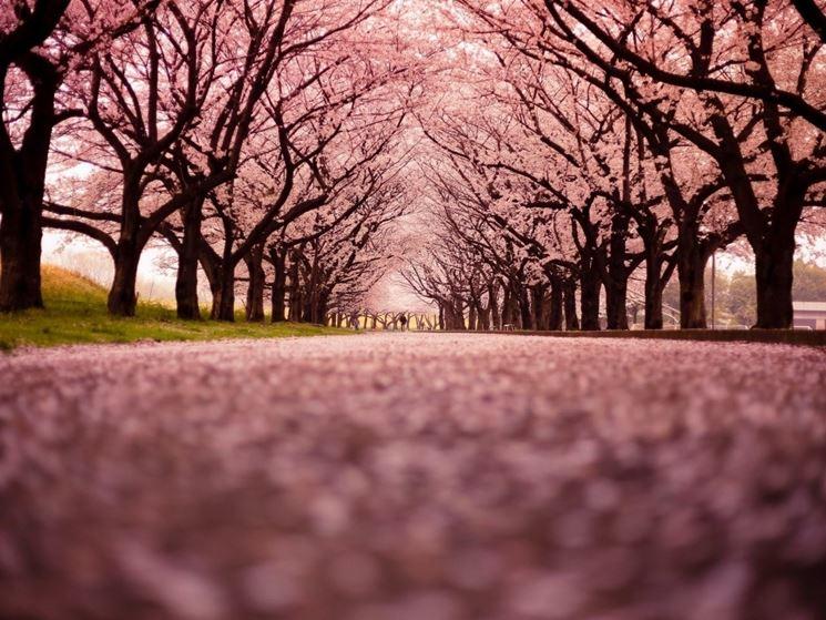 Un viale di ciliegi in fiore